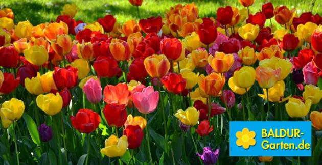 Verschönere Deinen Garten mit BALDUR, Deinem Spezialisten für Pflanzenversand & Gartenversand.